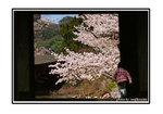 20100515postcard_sakura